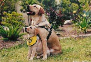 2 Lab Dogs