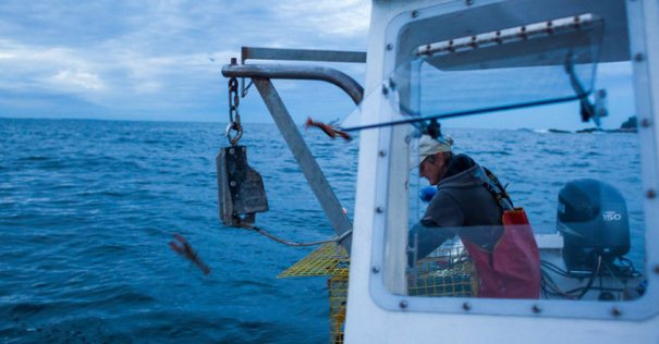 Yvonne Rosen, a member of the IAM's Maine Lobstermen's Union, tosses back undersized lobsters while pulling traps off the coast of Maine. (Courtesy: Craig Dilger for The New York Times)