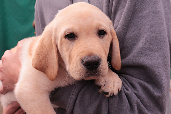 Help Raise a GDA Guide Dog by Bidding in Online Auction